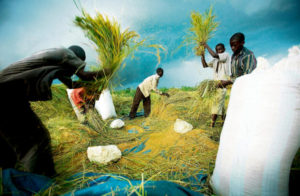 For Haiti's rice farmers, much depends on the free flow of water