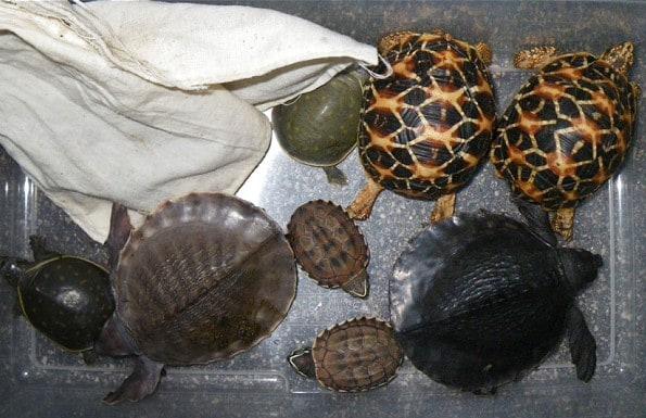 Les douanes à Roissy font une saisie record d'écailles de tortues