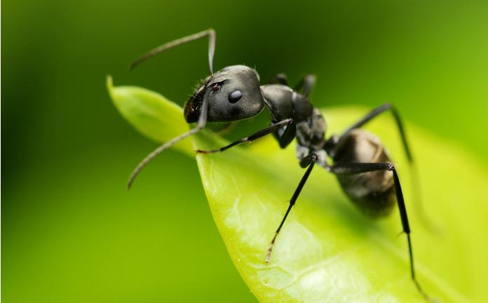 Une fourmi vorace s'attaque aux plantations et même aux petits enfants