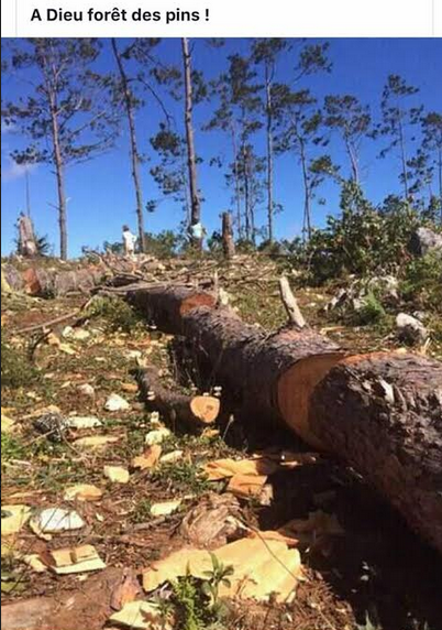 FLASH! FLASH! FLASH! WHO IS PROTECTING OUR ENVIRONMENT – PINE FOREST- LE FORET DES PINS -BEING CHOPPED AS YOU READ THIS ARTICLE!!!!